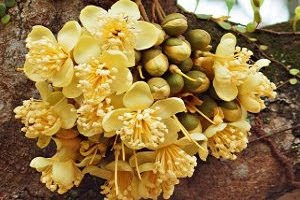 Health Benefits of Durian Flowers