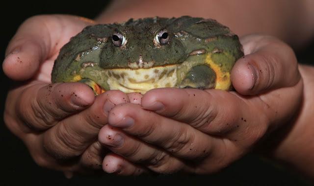 african bullfrog katak paling besar