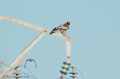 Xoriguer foragitant una àguila calçada