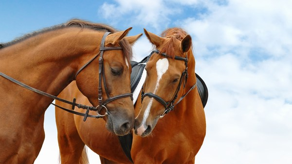 Amazing Pictures of Horses Together in HD