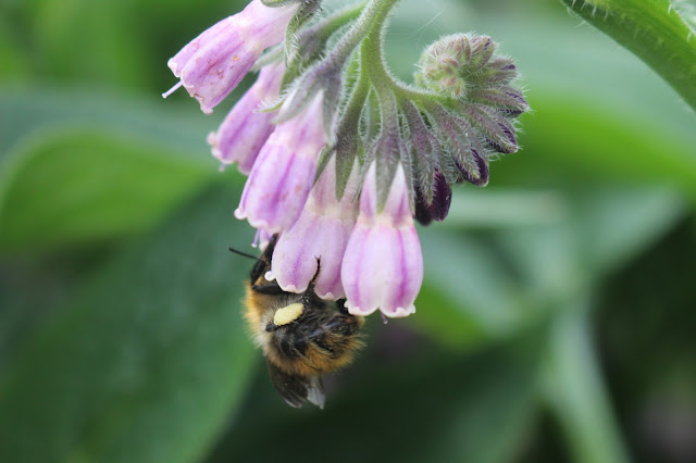 An acrobatic bee on a comfrey flower, with pollen sac clearly on view