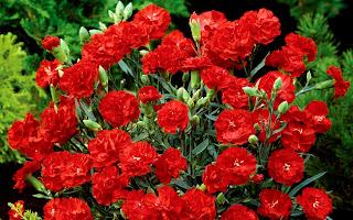 Цветок имени Светлана гвоздика