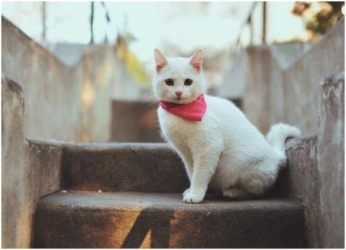gato pañoleta roja