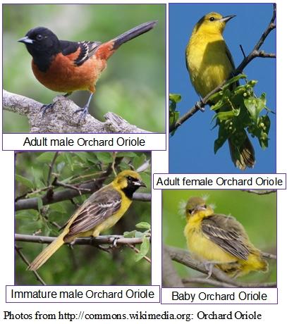Baltimore Oriole - observación de aves en Maine