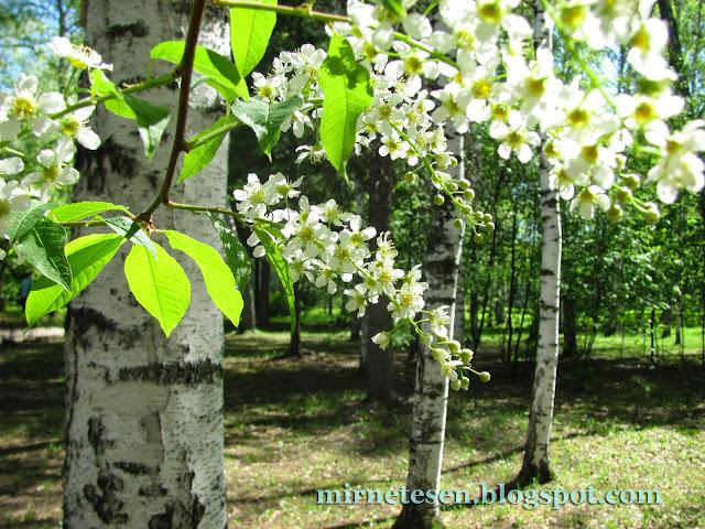 Томск - цветение черёмухи
