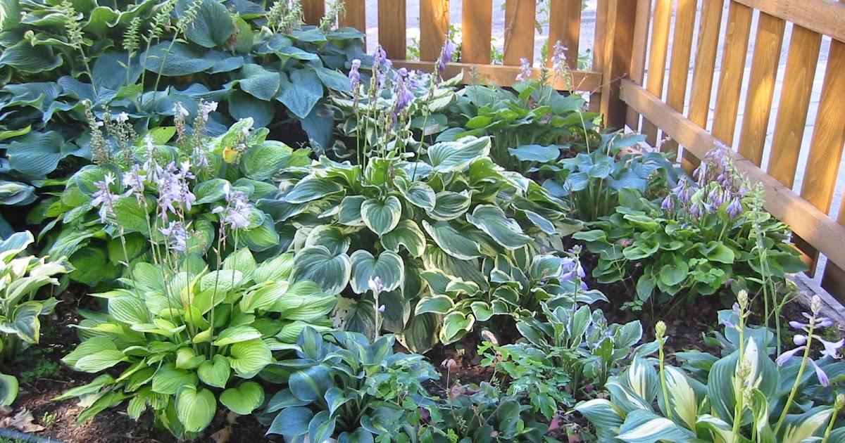 Как правильно посадить хосту весной из корня?