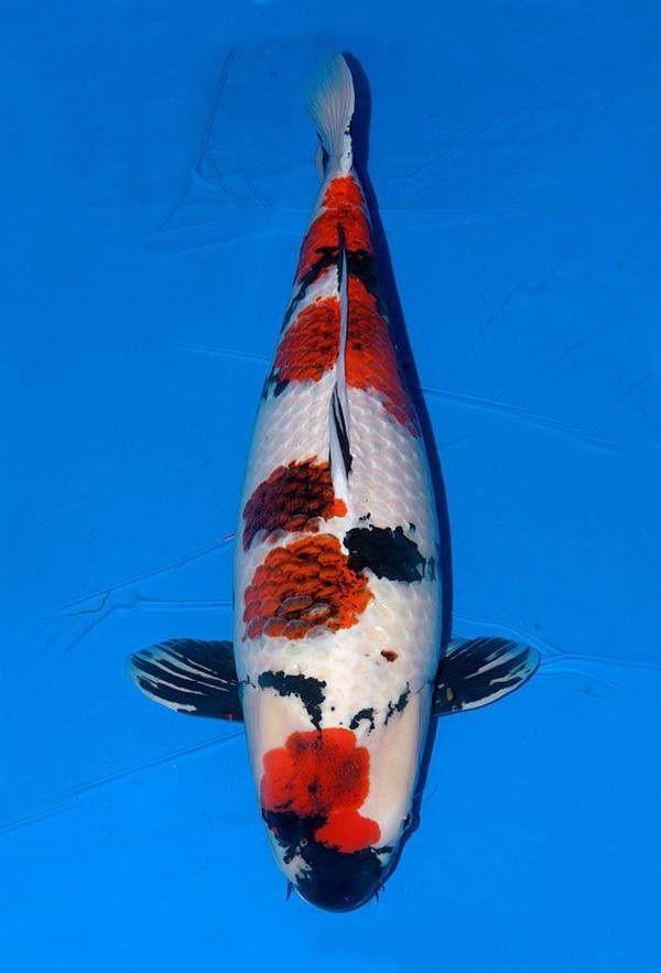 Ikan Koi Mahal
