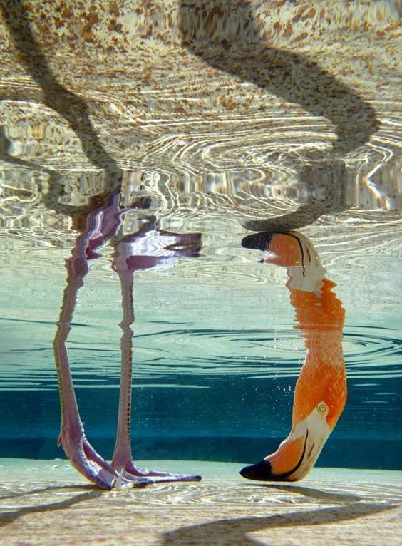 Flamingo Under Water View