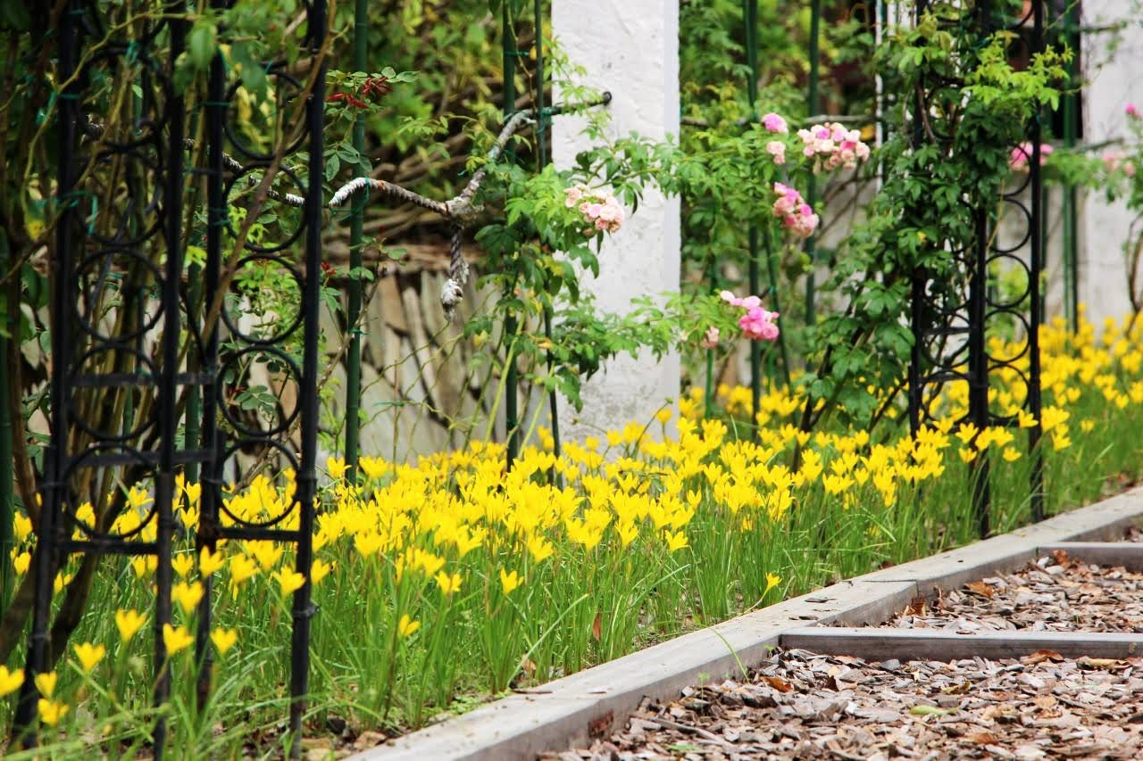 稍縱即逝的美景|士林官邸10萬株風雨蘭盛開|花期只有一週