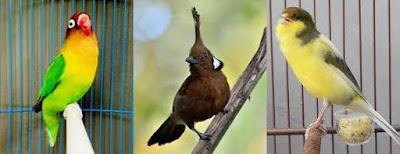Lovebird ngekek isian kenari  cililin