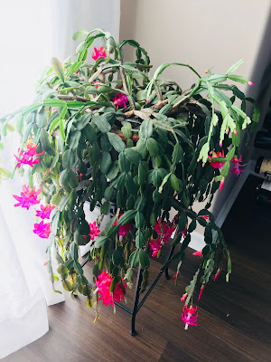 Photo of a large Christmas Cactus