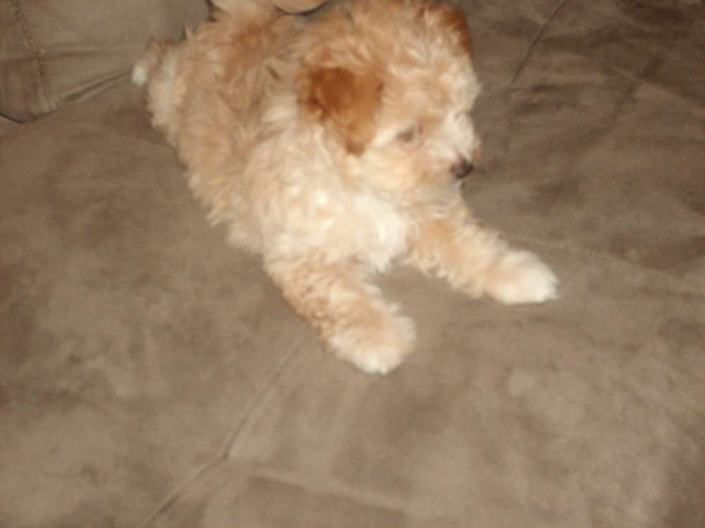 brown maltese dog cute puppy dogs brown maltese puppy 4575