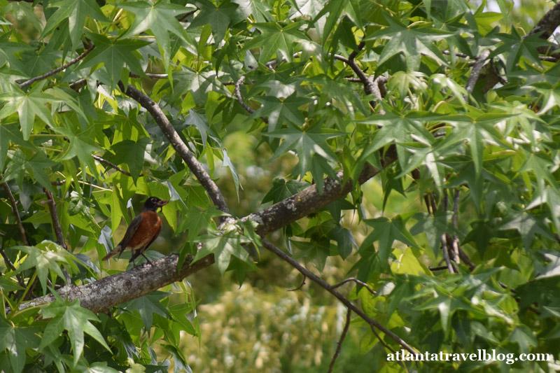 American robin nest