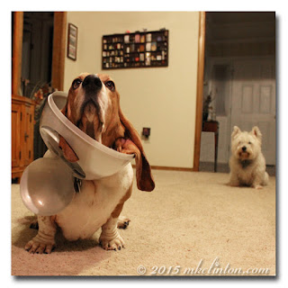 Basset with garbage can lid on his head as Westie watches