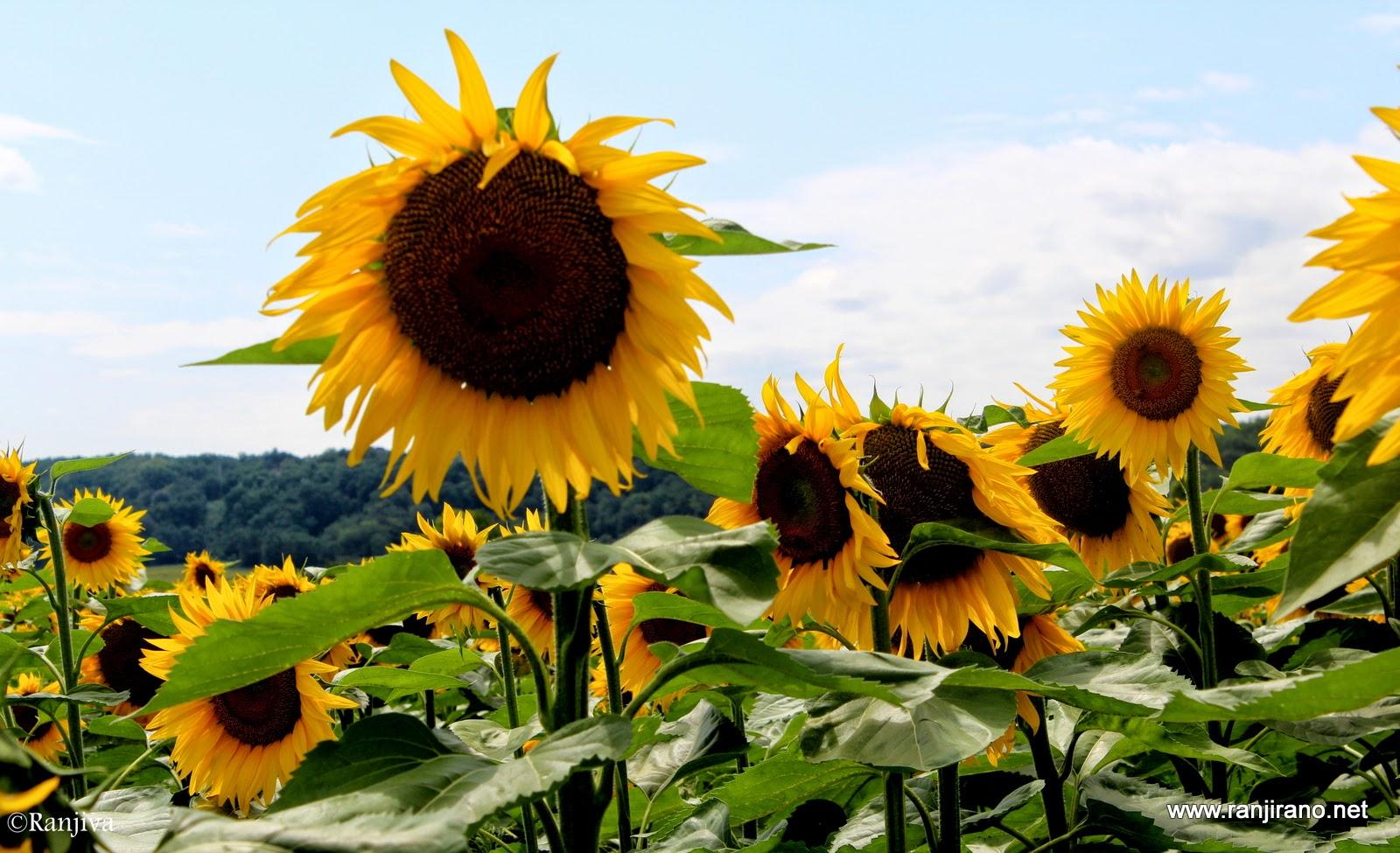 des tournesols et un peintre [van gogh] | paysages et fleurs au fil