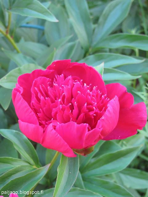 keskikesän kukka: pioni