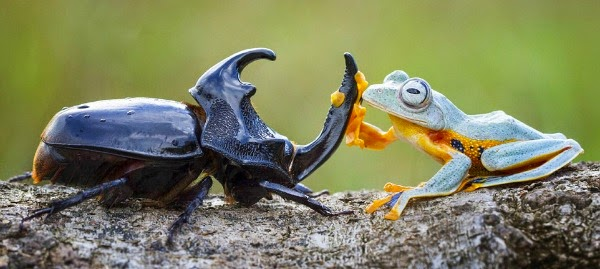 Watch this Cowboy Frog have fun riding a Beetle via geniushowto.blogspot.com reinwardt's flying frog meets the black beetle
