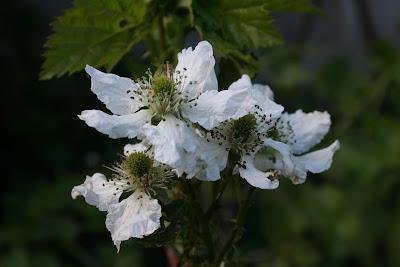 Rubus fruticosus cv. - Brombeere
