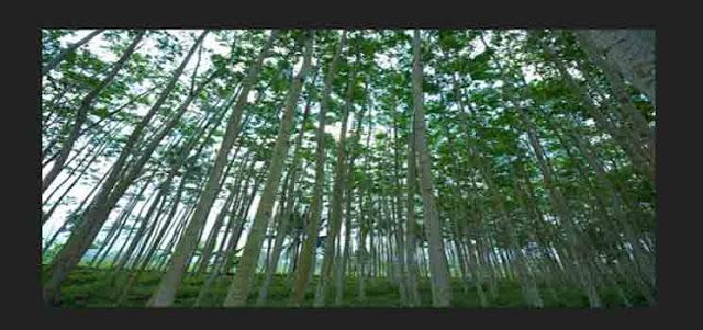 Pengertian Hutan Tanaman Industri (HTI)