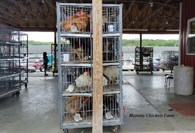Poultry auction for buying chicks