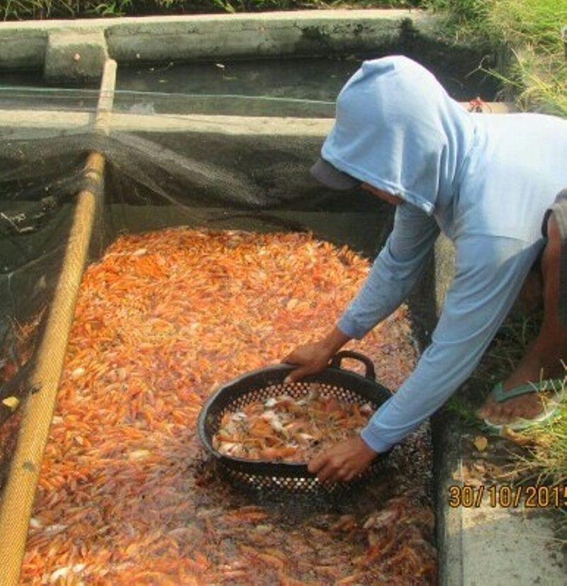 Penebaran Bibit Ikan Nila