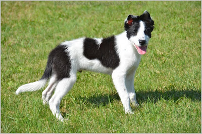 All About Dogs Images Border Collie Puppies Nc