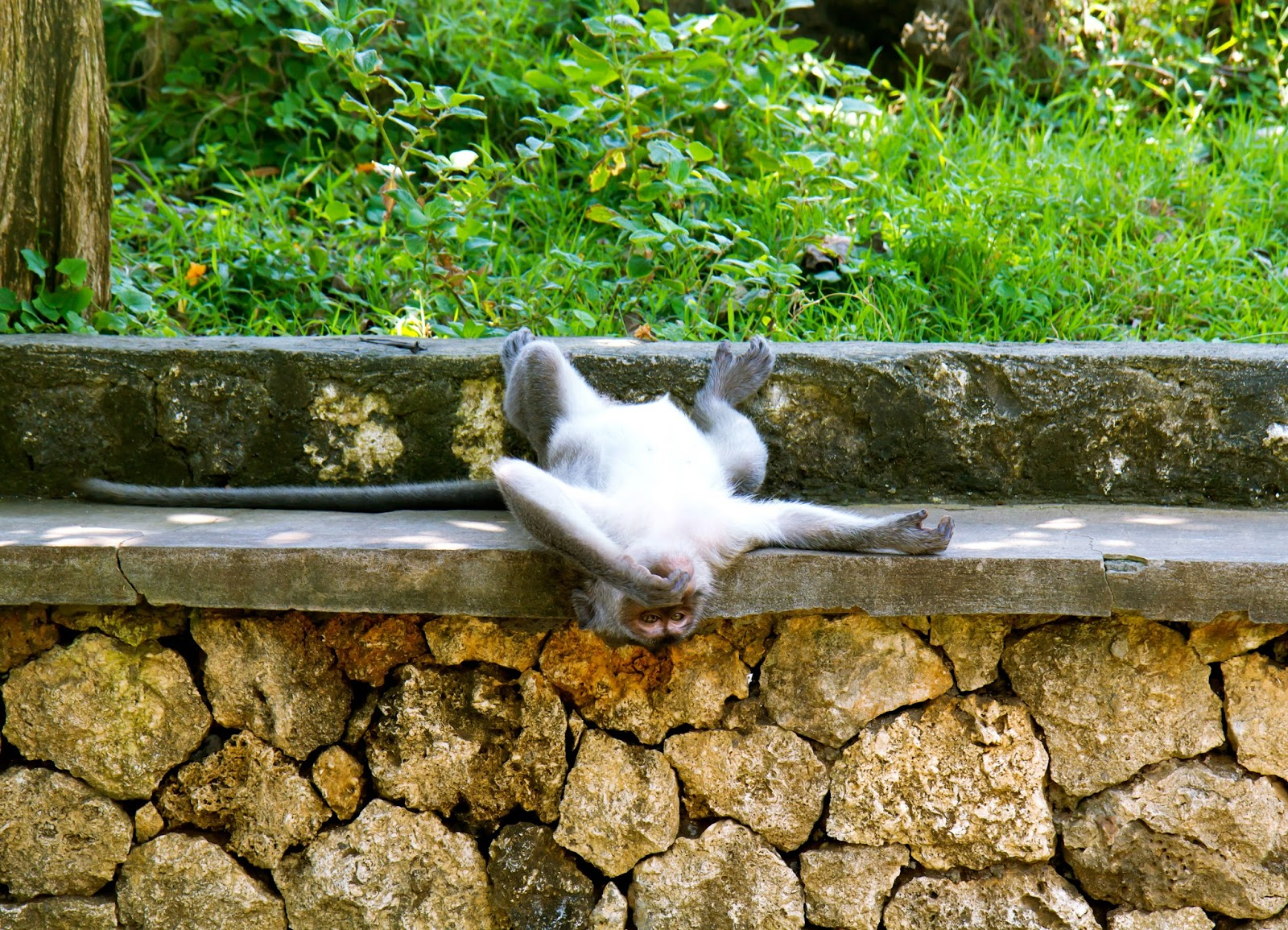 wild monkey at Uluwatu Temple in Bali, Indonesia