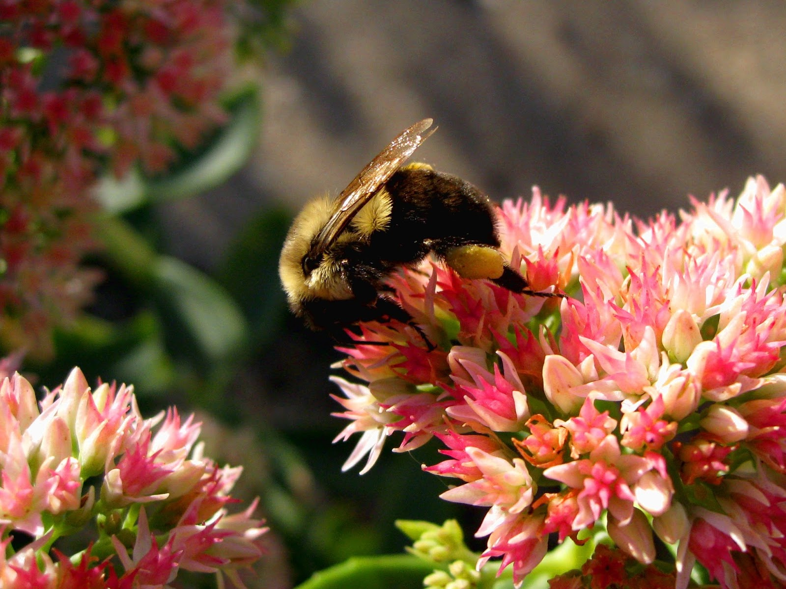 "Image ""Bumble_Bee_On_Sedum.jpg"" ©2013 K. R. Smith - www.theworldofkrsmith.com - may be used with attribution"