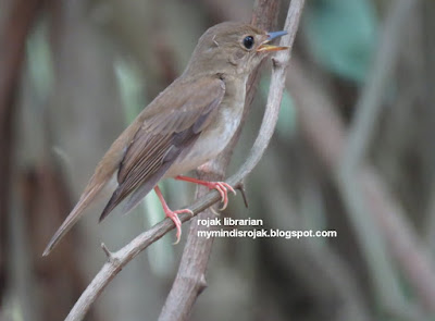 Brown Chested Jungle Flycatcher in Bidadari