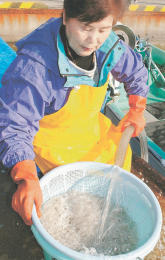 震災後初のシラウオ試験操業 いわき市漁協