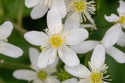 [Ranunculaceae] Ranunculus aconitifolius – Aconite-Leaf Buttercup (Ranuncolo a foglie di aconito)