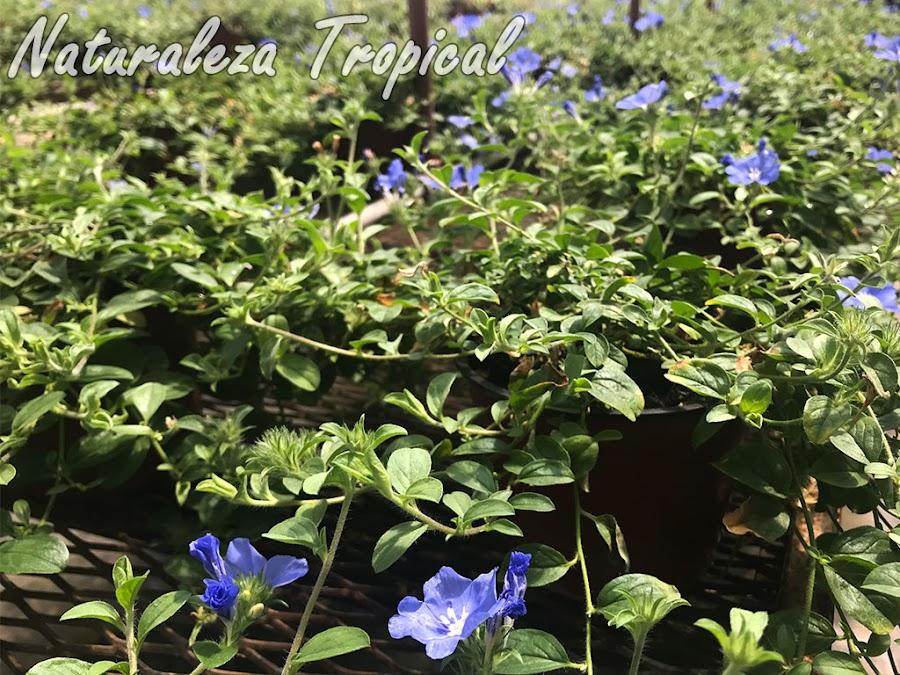 Cultivo intensivo en macetas de una especie del género Evolvulus. Campanita Azul o Dade