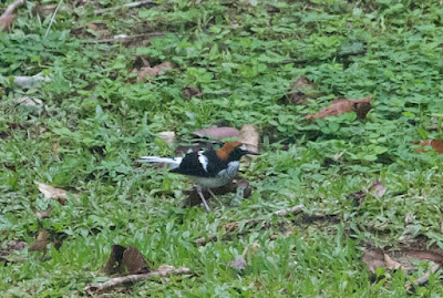 Chestnut-naped Forktail (Enicurus ruficapillus)