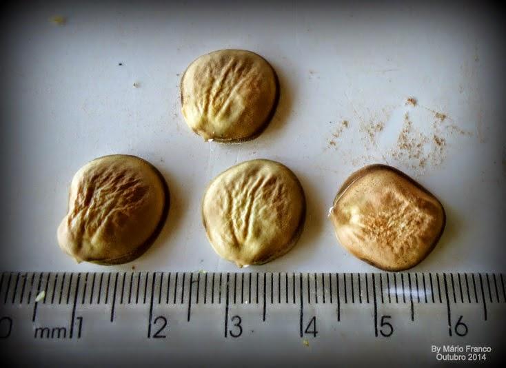 Semente Bauhinia variegata