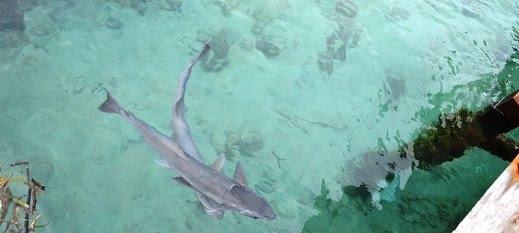 penangkaran-hiu-pulau-pramuka