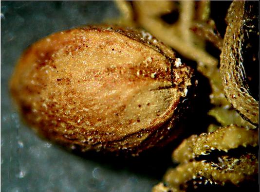 Cañamón, semilla de marihuana de 2700 anos, Cañamón tumba Turpan