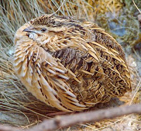 Common quail - Coturnix coturnix