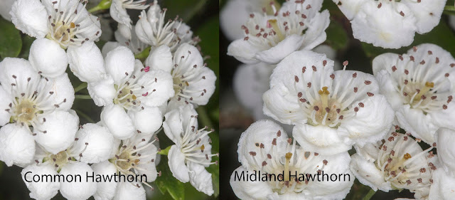 Midland Hawthorn, Crataegus laevigata, and Common Hawthorn, Crataegus monogyna.  Flowers compared.  25 April 2017.