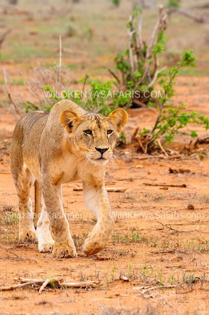 Kenia Safari in Tsavo Ost, lions tsavo east, tsavo east safari, elephants Tsavo, Tsavo East Safari, Safaris from Mombasa, Safaris from Diani Beach, Wild Kenya Safaris, www.wildkenyasafaris.com, Kenia Safari, Safaris Kenya, diani safaris, wildlife kenya safaris, dream kenya safaris, natural world safaris, andbeyond safaris, dm safaris, beach safaris, you and nature safaris, oranje safaris, wt safaris, vumbi safaris, jt safaris, kifaru safaris,marco polo safaris, tsavo safaris, tahri camp, ashnil aruba lodge, sentrim camp, voi safari lodge, zomeni lion hill lodge tsavo, ndololo camp, voi wildlife lodge, manyatta camp, satao camp, saltlick lodge, lions bluff lodge, taita lodge
