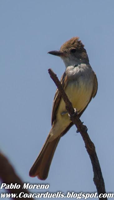 "alt=""burlisto cola castaña,aves de Mendoza,Myiarchus tyrannulus)"