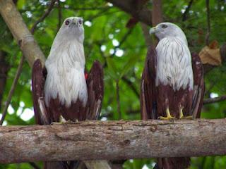 suara burung elang, burung elang terbesar, berburu burung elang, sarang burung elang, burung elang jinak, burung hantu vs elang, burung elang vs ular, burung elang jawa, anak burung elang, cara menangkap burung elang,