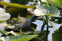 Everglades Gallinule
