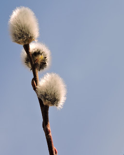 catkins on pussy willow- spring