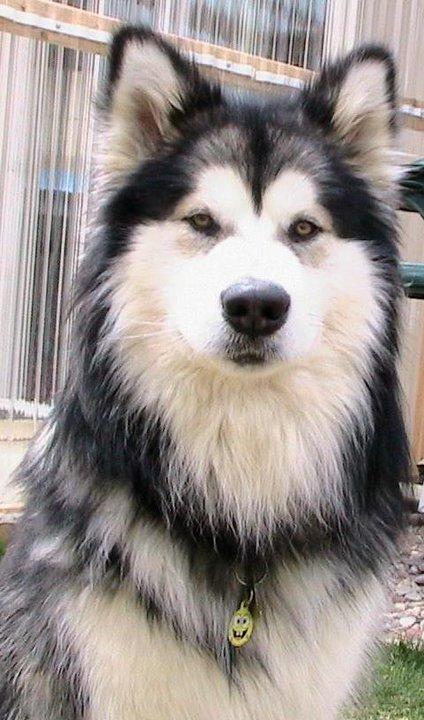 Difference Between The Alaskan Malamute With A Siberian Husky Fun