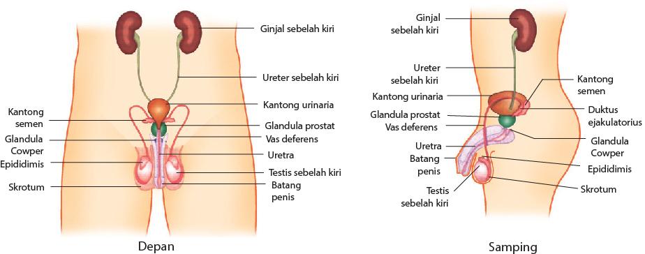 Bagian-bagian alat reproduksi pria