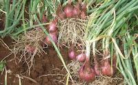 Hasil gambar untuk akar bawang bawangan