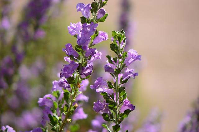 tuesday view, small sunny garden, amy myers, desert garden, photography, leucophyllum frutescens, texas ranger, shrub