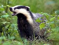 Yeşil otlar arasında ağzını açmış olan bir porsuk hayvanı