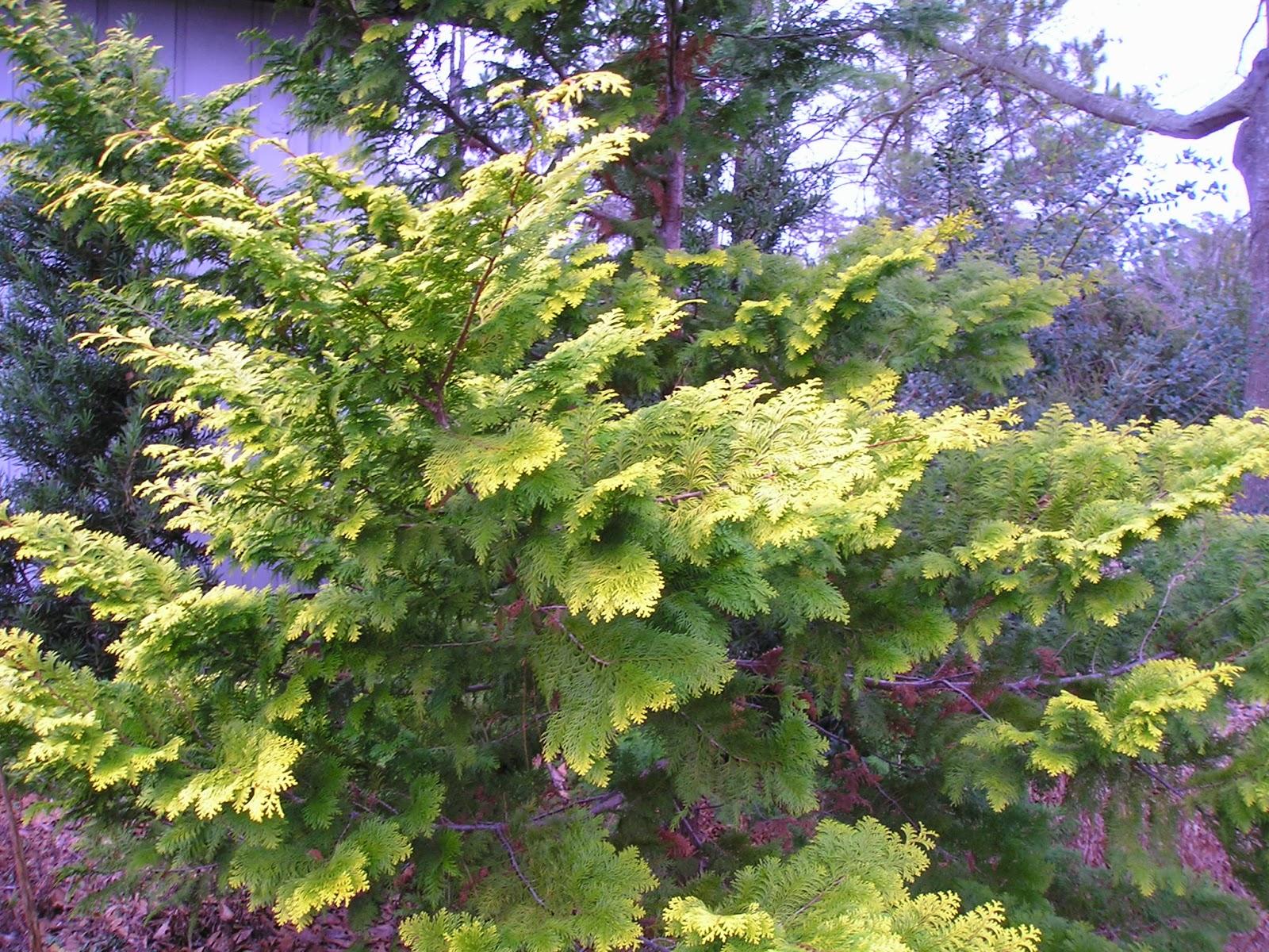 Carol S Garden: Carol's Greenville NC Garden: Hinoki Cypress 'Crippsii