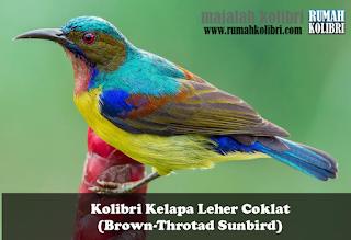 perawatan kolibri kelapa manggar